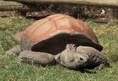 Geochelone Gigantea de la tortuga de Aldabra Fotografía de archivo
