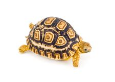 Geochelone Pardalis. A young tortoise - Geochelone Pardalis - on the white background - close up Stock Photography