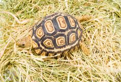Geochelone Pardalis. A young tortoise - Geochelone Pardalis - on the dry grass - close up Stock Photography