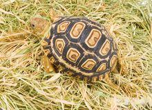 Geochelone Pardalis. A young tortoise - Geochelone Pardalis - on the dry grass - close up Stock Photos