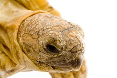 Geochelone Pardalis. A young tortoise - Geochelone Pardalis (detail of the head Royalty Free Stock Images