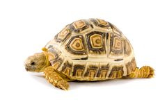 Geochelone Pardalis. A young tortoise - Geochelone Pardalis - on the white background - close up Stock Photos