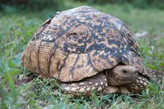 Geochelone pardalis: the world`s second-largest land tortoise. Geochelone pardalis, the world`s second-largest land tortoise Stock Image