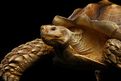 Geochelone sulcata. African turtle Spurs. Isolated on Black Background Royalty Free Stock Photography