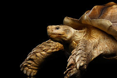 Geochelone sulcata. African turtle Spurs. Isolated on Black Background Stock Image