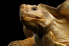 Geochelone sulcata. African turtle Spurs. Isolated on Black Background stock images