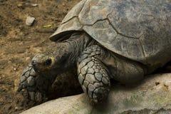 Geochelone sulcata w zoo Prawie wymarłych żywych organizmach obraz royalty free