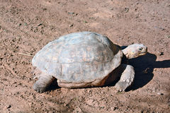 Geochelone sulcata. In the Zoological Center of Tel Aviv-Ramat Gan, Israel Stock Photos