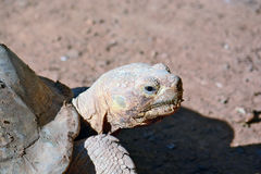 Geochelone sulcata Royalty Free Stock Images