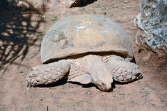 Geochelone sulcata. In the Zoological Center of Tel Aviv-Ramat Gan, Israel Stock Photo