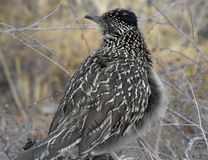 Geococcyx californianus Roadrunner, große Biegung, TX Stockfotos