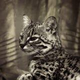 Geoffroy's-Katze im Sepia stockbilder