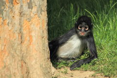 geoffroy спайдер обезьяны s Стоковые Фото