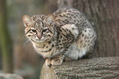 Geoffroy cat. The Geoffroy cat sitting on the wood Royalty Free Stock Photos