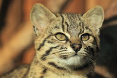 Geoffroy cat detail. The detail of adult Geoffroy cat Stock Photography