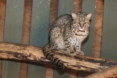 Geoffroy cat. On the wood Royalty Free Stock Photos