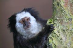 Geoffroy marmoset στοκ εικόνα