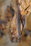 Geoffroy`s bat Myotis emarginatus stock images