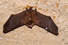 Geoffroy`s bat Myotis emarginatus royalty free stock photography