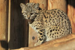 Geoffroy's cat. The Geoffroy's cat sitting on the wood Stock Photo