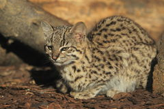 Geoffroy's cat. The Geoffroy's cat sitting in the soil Stock Images