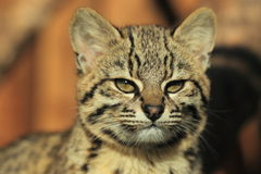Geoffroy's cat. The detail of Geoffroy's cat Royalty Free Stock Photography