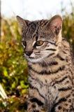Geoffroy's Cat closeup. Geoffroy's Cat (Felis geoffroyi) Wildcat From South America Stock Photo