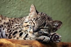 Geoffroy's cat (Leopardus geoffroyi). Royalty Free Stock Photography