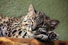 Geoffroy's cat (Leopardus geoffroyi). Wild life animal Royalty Free Stock Photography