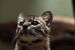 Geoffroy's cat (Leopardus geoffroyi). Wild life animal Stock Photos