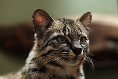 Geoffroy's cat (Leopardus geoffroyi). Royalty Free Stock Images