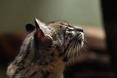 Geoffroy's cat (Leopardus geoffroyi). Wild life animal Stock Image