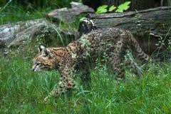 Geoffroy's cat (Leopardus geoffroyi). Wildlife animal Royalty Free Stock Photos
