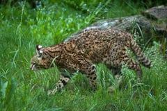 Geoffroy's cat (Leopardus geoffroyi). Wildlife animal Stock Photo