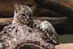Geoffroy's cat. The lying adult Geoffroy's cat Royalty Free Stock Photography