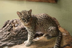 Geoffroy's cat Royalty Free Stock Photo