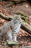 Geoffroy's Cat. Is sitting and he looking around Royalty Free Stock Photography