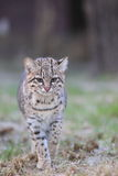 Geoffroy's cat. The Geoffroy's cat strolling in the grass Stock Images