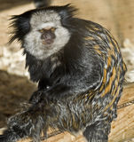 Geoffroy's Marmoset royalty free stock image