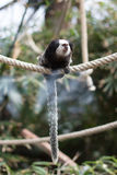 Geoffroy`s marmoset - Monkey sitting on rope stock photo