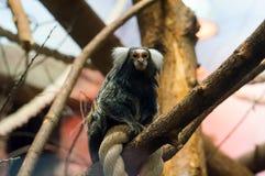 Geoffroy`s marmoset - Monkey sitting on rope Stock Photos