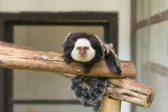 Geoffroy& x27;s Marmoset Monkey sitting on tree in zoo stock image