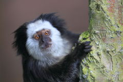 Geoffroy's marmoset Stock Image