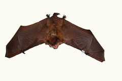 Geoffroy ` s棒Myotis emarginatus 库存照片