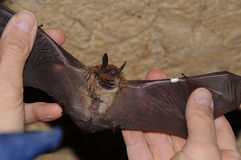 Geoffroy ` s棒Myotis emarginatus 免版税库存图片