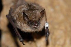Geoffroy ` s棒Myotis emarginatus 免版税库存照片