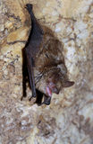 Geoffroy ` s nietoperza Myotis emarginatus Fotografia Royalty Free