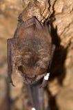Geoffroy ` s nietoperza Myotis emarginatus Obraz Stock