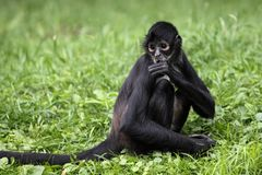 Geoffroy's spider monkey Royalty Free Stock Photography
