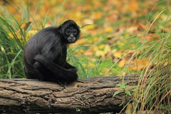 Geoffroy's spider monkey Royalty Free Stock Images